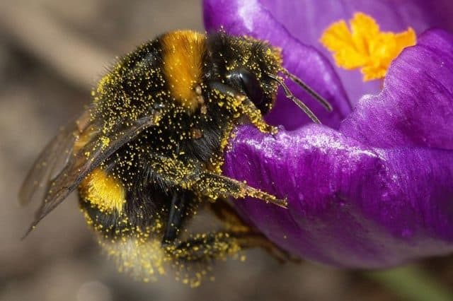 Slow Motion Footage of a Bumble Bee Pollinating Flowers